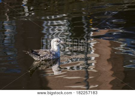 European Herring Gull (Larus argentatus) juvenile swimming in water of a Town Canal with reflections