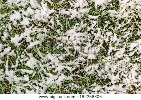 Background of green spring grass in the snow