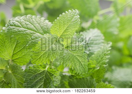 Organic Melissa. Fresh Lemon Balm.  Spicy Greens. Selective Focus
