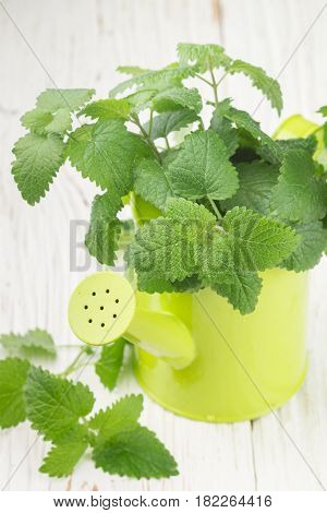 Organic Melissa. Sprigs Of Fresh Lemon Balm In A Decorative Vase. Spicy Greens. Selective Focus