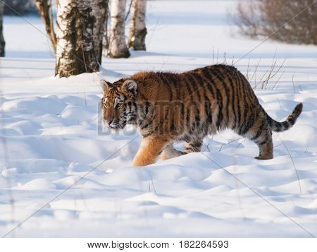 Panthera tigris altaica - Amur tiger walking in the snow. Action wildlife scene with dangerous animal