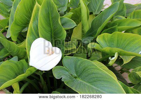 Beautiful Calla Flowers