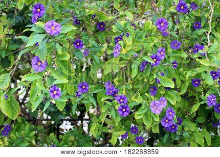 Beautiful Clematis Flowers