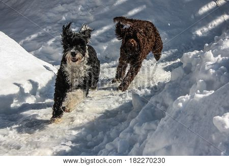 Portuguese Water dogs running and playing in the snow