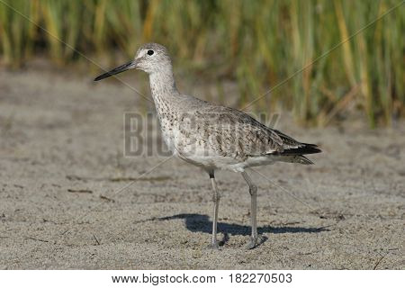 A Willet on a sandy beach in Florida