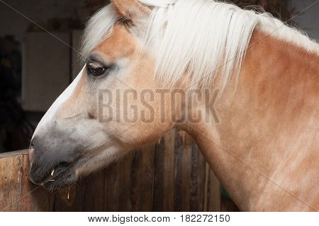 Close up of horse head stallion horse breed haflinger in stable