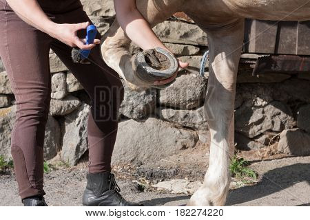 Young Woman Cleaning Horse Hoof By Hook.