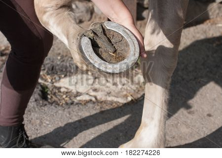 Young Woman Cleaning Horse Hoof By Hook