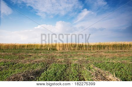 Countryside landscape with Cereal field after harvesting and cloudy sky with white cumulus clouds late in the evening