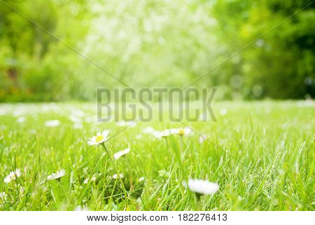Sunny Spring Grass Meadow With Daisy Flowers. Blurry Green Trees In Background With Bokeh Effect. Card For Seasons Greetings