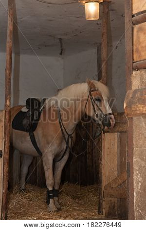 Horse breed Haflinger stallion with saddle standing in stable.