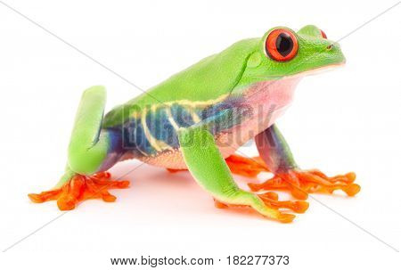 Red eyed tree frog, a tropical animal from the rain forest in Costa Rica isolated on white background. This amphibian is an endangered species and needs nature conservation.