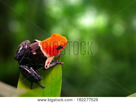 Red headed poison dart frog , ranitomeya fantastica. A poisonous small rainforest animal living in the Amazon rain forest in Peru.