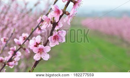 Spring violet flowers of orchard on tree. Nature composition.