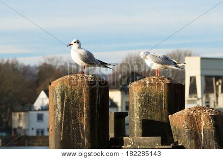Seagulls in Essen-Kettwig at the Ruhr Germany.