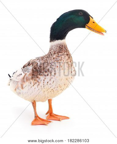 One brown duck isolated on white background.