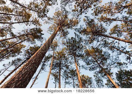 Pine Tree Canopy