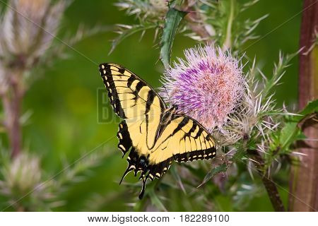 Tiger Swallowtail getting a sip from a thistle