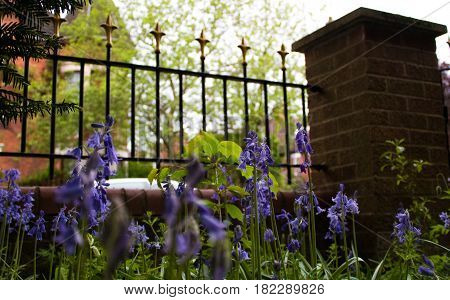 Low shot of bluebells from ground with Victorian style garden railings and brick pillar in front garden of English suburban house and residential house with turret in the background