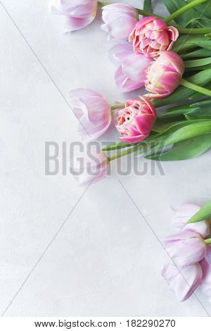 Pink tulip. Tulips. Flower background. Flowers photo concept. Holidays photo concept. Pink tulips on gray abstract background. Pink tulip. Tulips. Flowers. Flower background. Copyspace. Peony Tulip