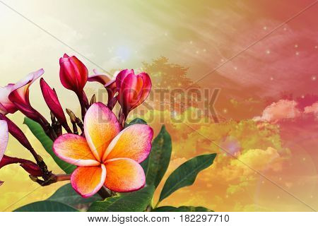 Frangipani Or Plumeria Bunch On Dreamy Sky Summer Relax  Dreamy Background