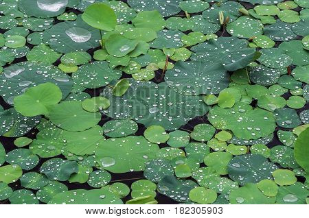 green lotus with water drop in the lake