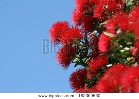 Red Pohutukawa Flowers, New Zealand Christmas Tree
