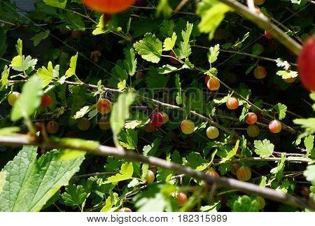 Red gooseberries ripen on a gooseberry bush (Ribes uva-crispa) in a garden in Joliet, Illinois during July.