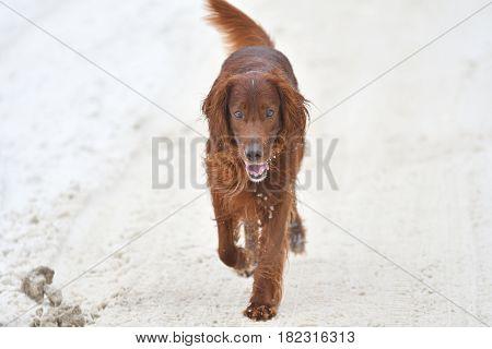 Hunting Dog On Walk