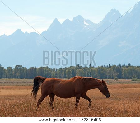 Bay colored horse in front of Mount Moran in Grand Teton National Park in Wyoming United States