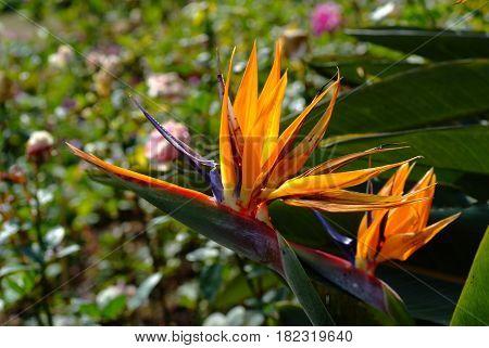 Bird of paradise flower in the garden