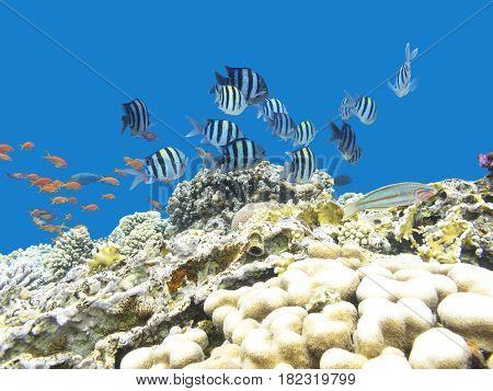 Colorful coral reef with shoal of fishes damselfish (Sergeant major) and scalefin anthias at the bottom of tropical sea underwater