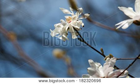 White Magnolia flowers vlooming in Spring season with copy space selective focus.