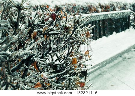 Frozen bushes on the background of a bench