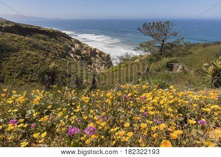 Wildflowers Blooming Next To The Pacific Ocean In Torrey Pines - San Diego, California