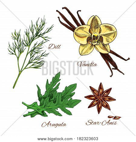 Herbs and spices vector icons. Aroma dessert bakery vanilla, dill and arugula salad dressing condiments, spicy anise star seeds for culinary cuisine. Cooking ingredients isolated sketch set