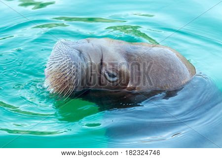 Big walrus is swimming in blue water
