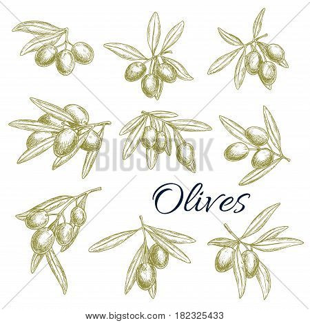 Olives vector sketch isolated icons set. Branches of fresh green or black olives harvest. Symbols for extra virgin olive oil products label or Italian and Mediterranean cuisine design elements