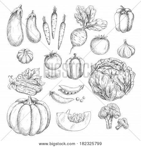 Vegetables vector icons set. Isolated sketch pumpkin and carrot, radish or beet and bell pepper, cabbage, tomato or cucumber. Farm fresh harvest of zucchini, cauliflower or broccoli, garlic and pea