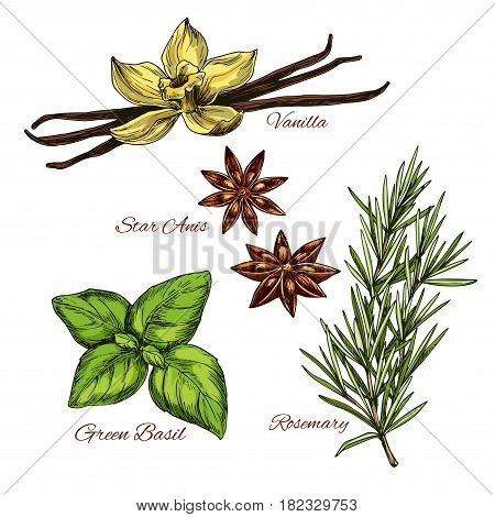 Spices and herbal flavorings vector sketch icons of aroma vanilla flower and pods, anise star seeds and green basil condiment or rosemary dressing for salads or cooking herb ingredients