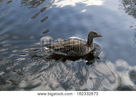 Grey Goose swimming in a lake in Copenhagen Denmark.