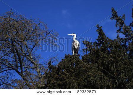 Gray Heron in a tree in Copenhagen Denmark
