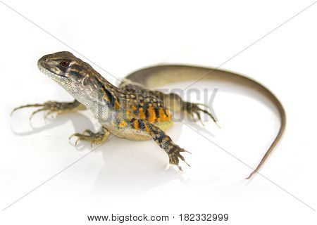 Image of Butterfly Agama Lizard (Leiolepis Cuvier) on white background. Reptile Animal