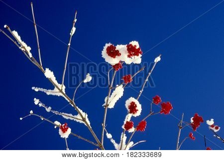 Berries with snow on the alps on wintertime