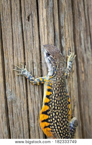 Image of Butterfly Agama Lizard (Leiolepis Cuvier). Reptile Animal