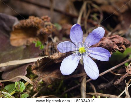 Hepatica nobilis liverleaf or liverwort flower macro with soft edges selective focus shallow DOF.