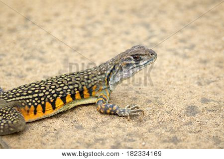 Image of Butterfly Agama Lizard (Leiolepis Cuvier) on the ground. Reptile Animal