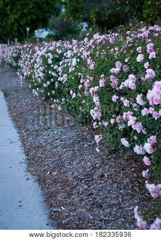 A hedge of pink roses along a sidewalk
