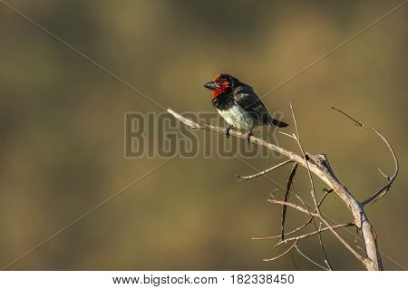 Black-collared barbet in Kruger national park, South Africa ; Specie Lybius torquatus family of Ramphastidae