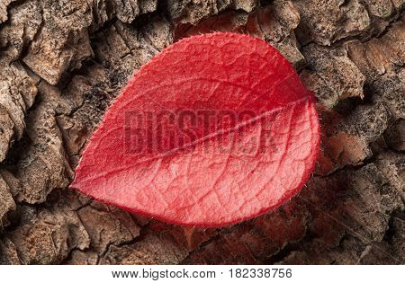Red Abscissed Leaf